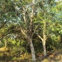 árvores de murici ID: 17859